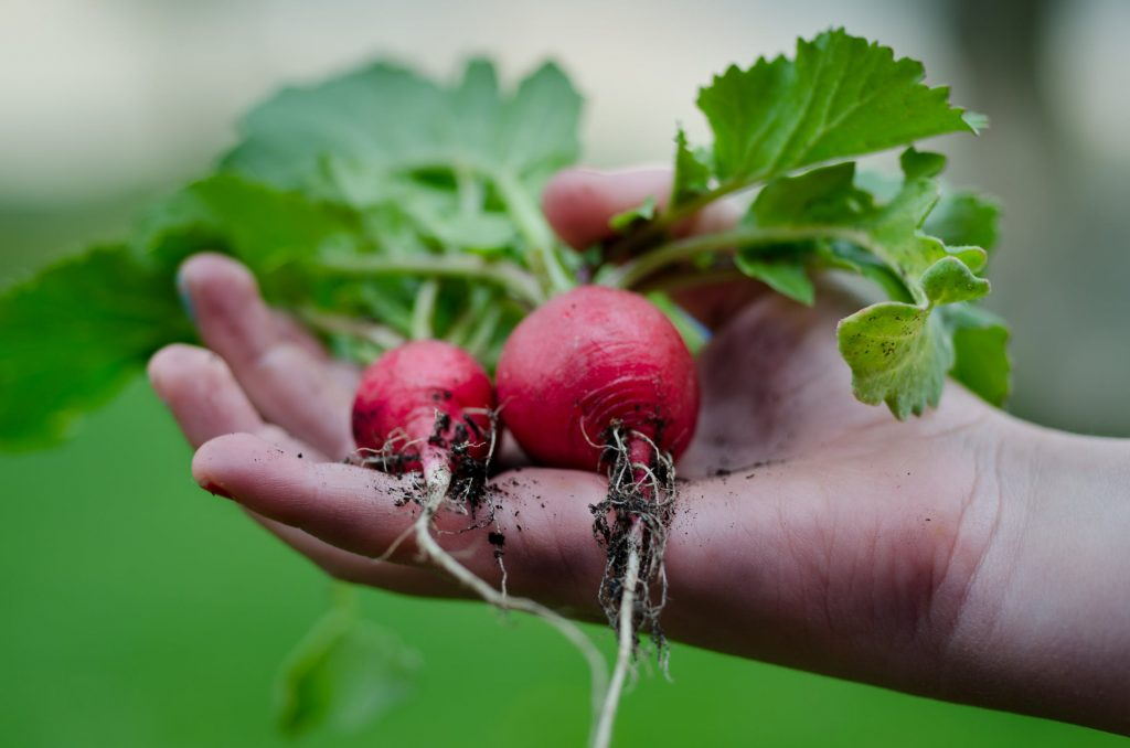 child holding radishes in hand